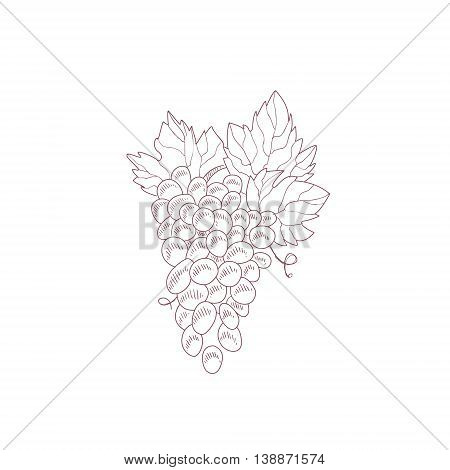 Grape Vine Hand Drawn Realistic Detailed Sketch In Beautiful Classy Style On White Background