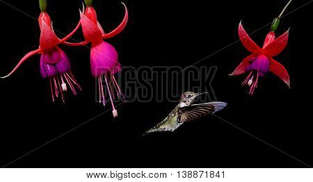 Hummingbird in flight with tropical flowers over black background