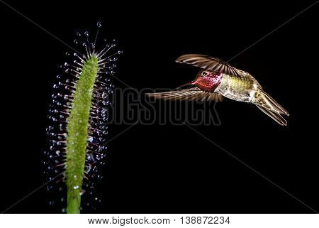 Hummingbird in flight with tropical flower over black background