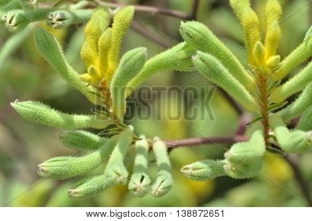 Kangaroo Paw Plants In The Flower Dome