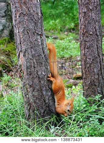 Little red squirrel came down trunk of tree to ground. She held back paws of pine bark and front puts in mouth food, found in grass