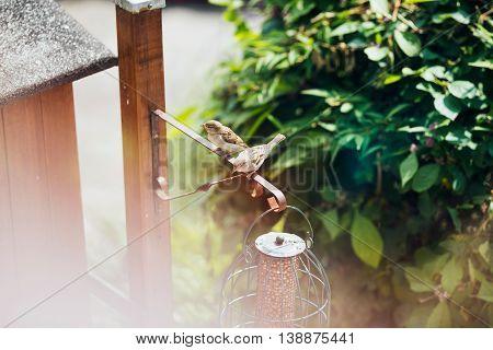 Two Tree Sparrows At Bird Feeder Holder In Garden