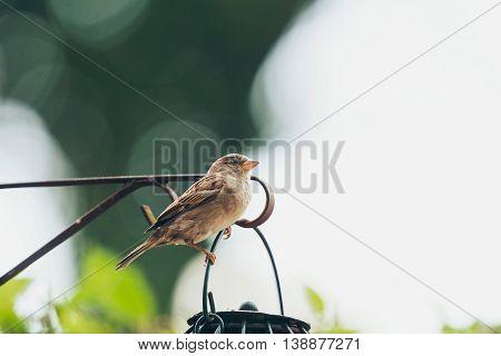 Tree Sparrow at a hanging bird feeder