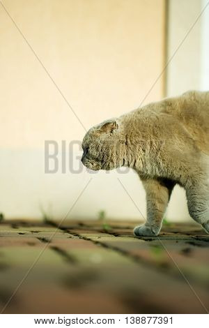 Domestic cat cute animal with soft gray fur walking on light background outdoor