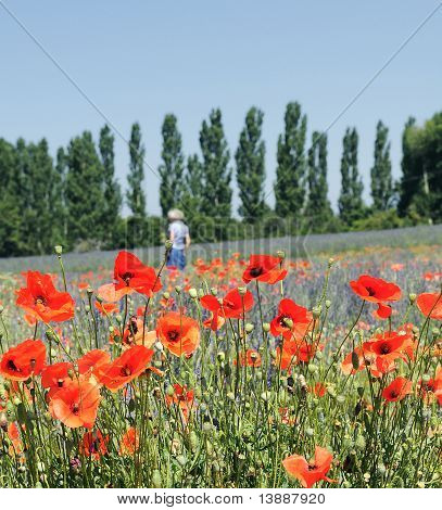 Walk in the fields of poppy and lavender