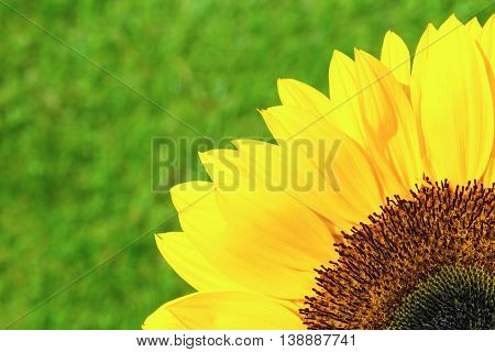 Quarter section of yellow sunflower on green grass