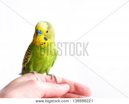 Green Budgerigar, domestic budgie, sitting on cage