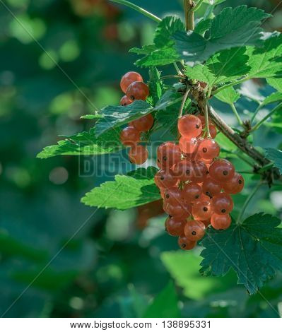 large red ripe currant berry on the bush with green leaves