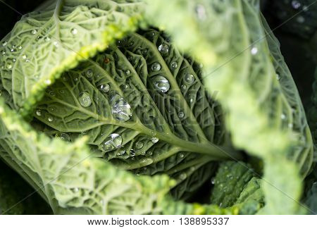 Closeup of savoy cabbage leaves with watter drops in a garden
