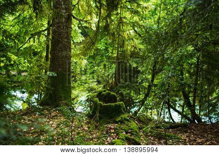mist forest with moss trees