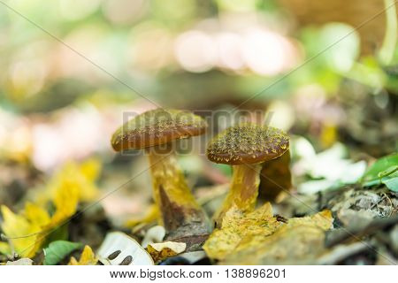 mushrooms growing honey agarics in the forest