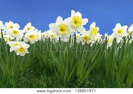 Blooming daffodils in a meadow against blue sky