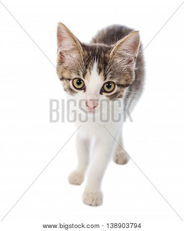 Portrait of little cat looking to camera, isolated on white