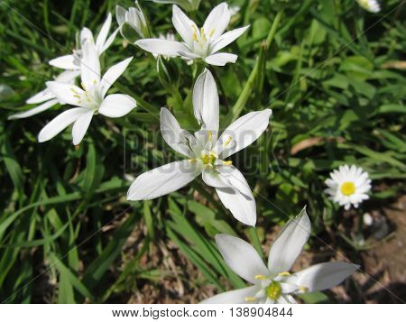 Close-up of white Star of Bethlehem flowers and daisies in springtime in Tuscany Italy