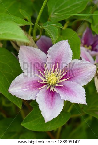 pink and purple clematis flower on a background of green leaves
