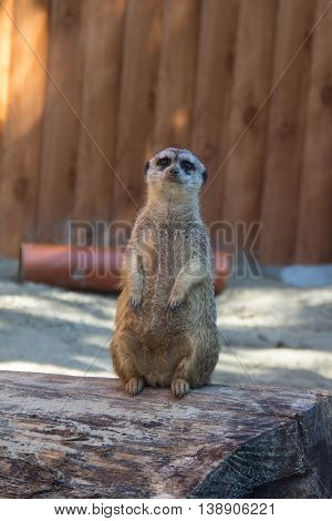 Meerkat sits a top a hill and takes care of his herd
