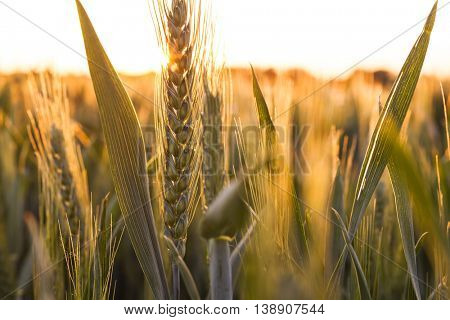 Sunset or sunrise over a golden field of wheat crops growing on farm