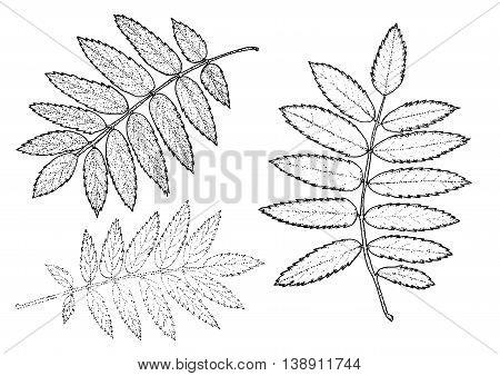 rowan set of leaves on a white background. Vector eps10 illustration