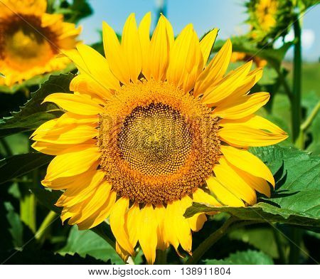 Ripe sunflower on field. Nature landscape. Nature background