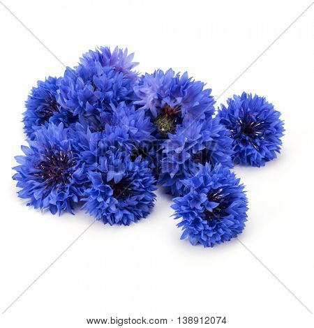 Blue Cornflower Herb or bachelor button flower heads isolated on white background cutout