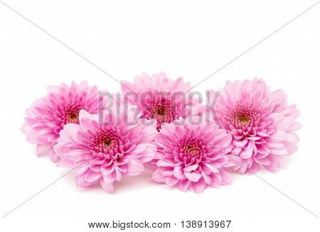 chrysanthemum daisy flower on a white background