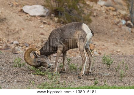 a desert bighorn sheep ram rubs his horns on the ground in the rut
