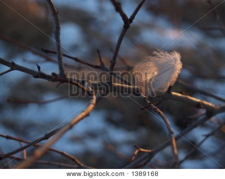 Downy Feather Perched On Bare Branch