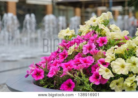Flower bed on the street. Flower bed on the background of the fountain in the town square.