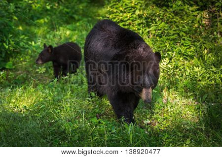 Black Bear (Ursus americanus) With Cub in Background - captive animals