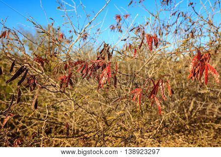 Caesalpinia Pyramidalis Tul Is A Plant Of The Caatinga Biome In Brazil, Popularly Known As Catinguei