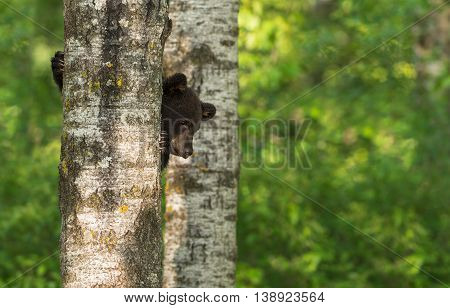 Black Bear (Ursus americanus) Cub Peeks Around Tree - captive animal