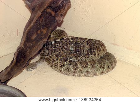 Rattle Snake, Found In The United States