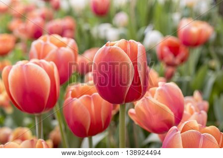 Red orange tulips in flowerbed in Springtime at Rayong Thailand