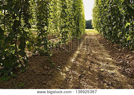 Detail Of  Hop Garden  In The Region Ceske Stredohori Between The Villages Brozany Nad Ohri And Doks