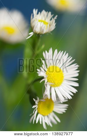 ox-eye daisy flower on blue background macro