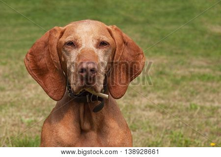 Old female Hungarian hound. Dog look into the lens. Portrait of a Hungarian Vizla.