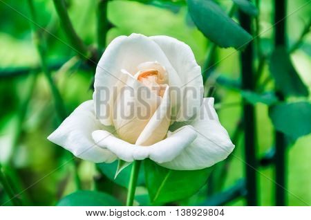 WHITE ROSES IN THE GARDEN. Nature background