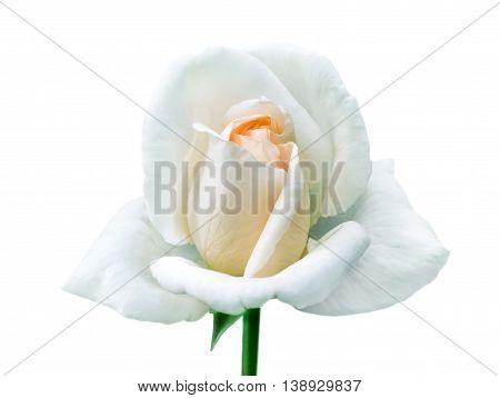 Single white rose on isolated white background.