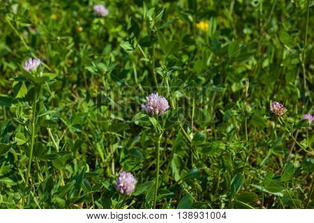 Several flowers of clover in a green field on a sunny day.