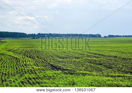 Springtime scenery of a ploughed field with young sprouts of crops and a beautiful cloudscape.