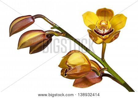 Studio shot isolated green stem with buds and half-open cymbidium orchid flowers on white