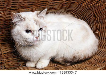 Cute White Cat sitaing  in the wicker basket basket