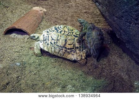 A pair of Kleinmann's tortoises (Testudo kleinmanni )--also called the Egyptian tortoise and Leith's tortoise--engage in copulation.