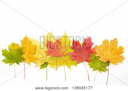 Autumn Fallen Maple Leaves Isolated On White