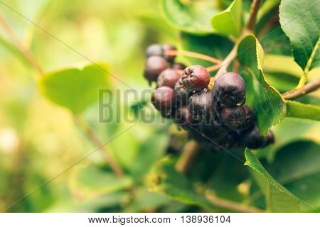 Ripe aronia berry fruit on the branch selective focus