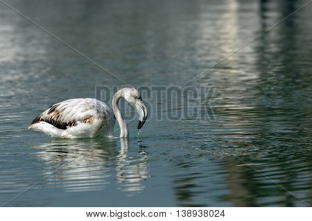 Greater Flamingo or Phoenicopterus roseus (Juvenile) in a natural lagoon in Bahrain