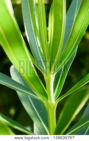 Light oleander leaves A beautiful green in the morning