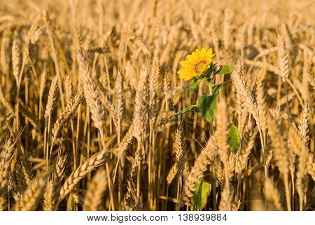 Ears of wheat and sunflower growing on a farm field