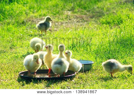 young goslings drink water from plate on the grass in the village