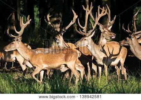 Herd of deer red on the woods